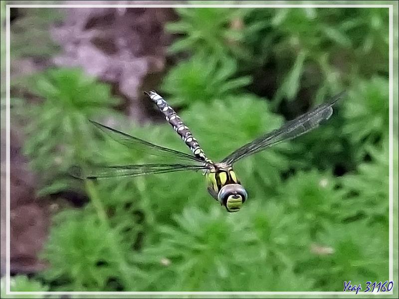 Libellule Æschne bleue mâle en vol, Southern hawker (Aeshna cyanea) - Lartigau - Milhas - 31