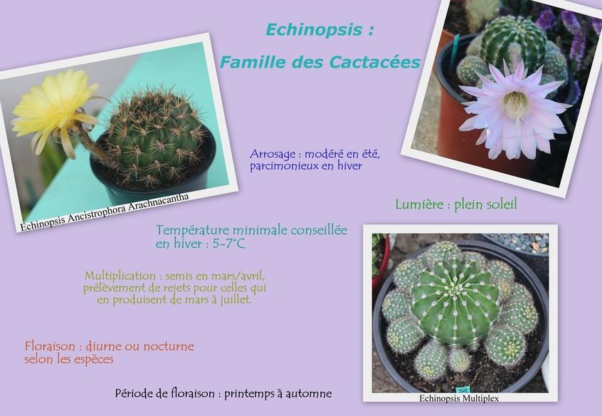 Echinopsis - Culture et entretien