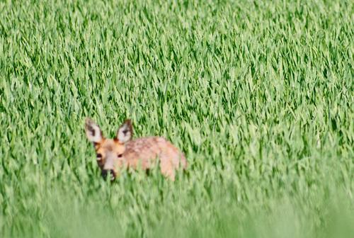 Promenons-nous dans les blés!