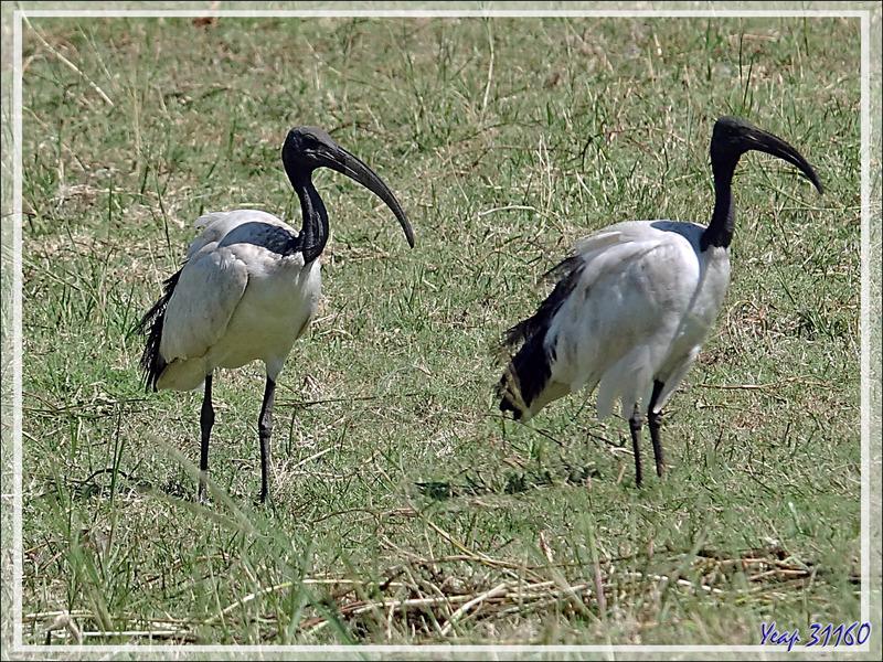 Ibis sacré, African Sacred Ibis (Threskiornis aethiopicus) - Safari nautique - Parc National de Chobe - Botswana
