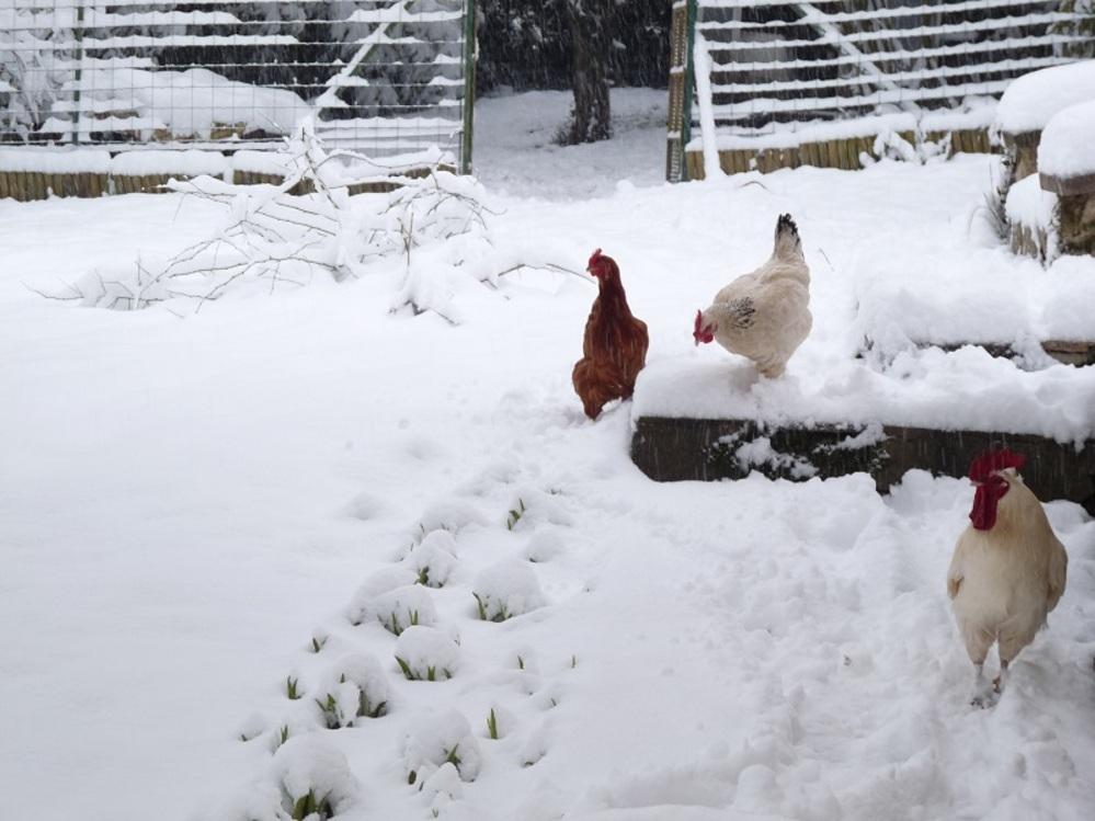 Sale temps pour les poules ...
