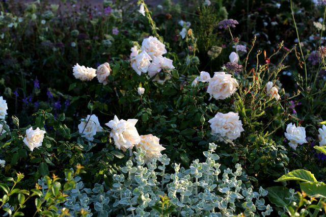 Les Roses de Warren : Hélène de Troie