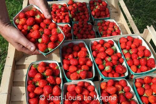 La culture de la fraise a Plougastel-Daoulas