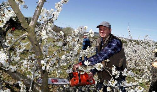 Apt : les agriculteurs coupent 300 cerisiers. Pourquoi ?