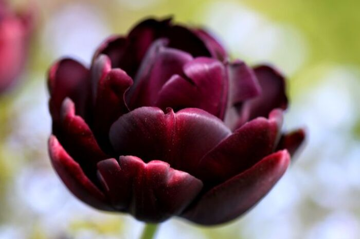 Tulipes 2014 : Black Hero