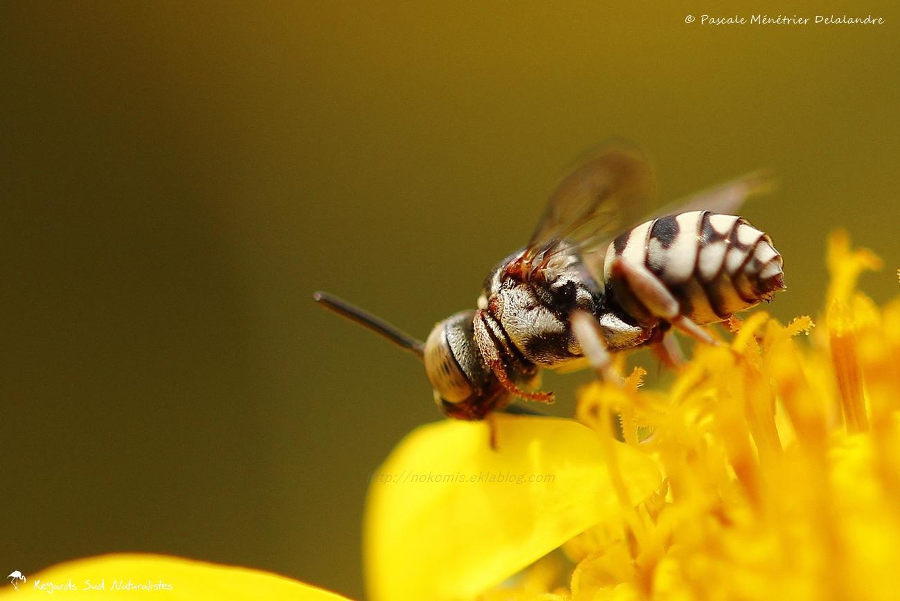 Apidae genre Epeolus sp.