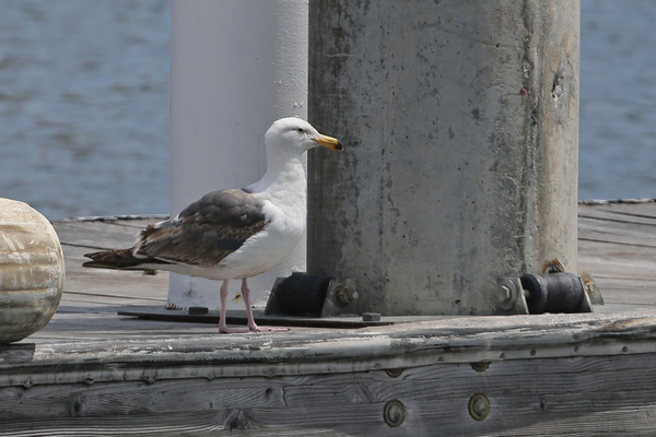 Rainbow Harbor - Western Gull