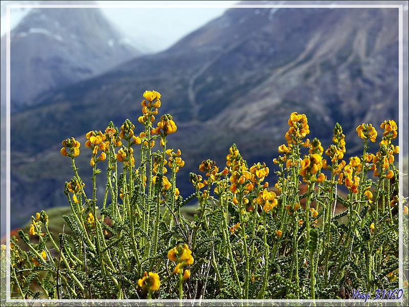 Thé de la pampa, Paramela (Adesmia boronioides) - Parque Torres del Paine - Patagonie - Chili