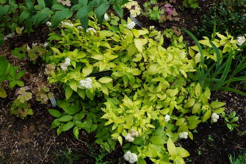 Spirea japonica 'white gold'