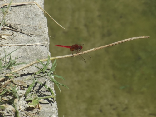 Les fées libellules