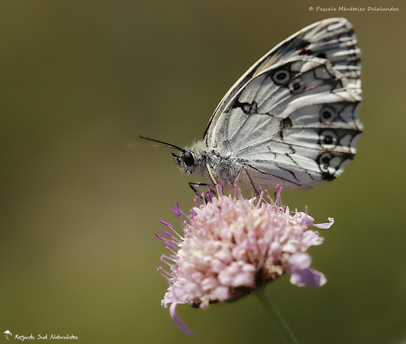 Demi deuil ♀ - Melanargia galathea - Nymphalidae