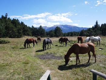 Près de la Font Vernada, au milieu des chevaux