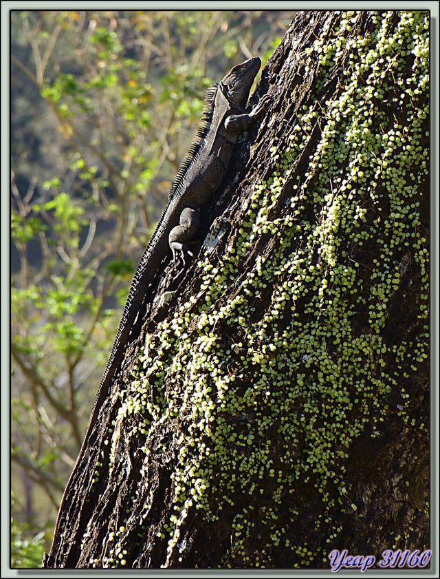 Blog de images-du-pays-des-ours : Images du Pays des Ours (et d'ailleurs ...), Iguane noir (Ctenosaura similis) - Rincon de la Vieja - Costa Rica