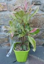 photinia crispy pink