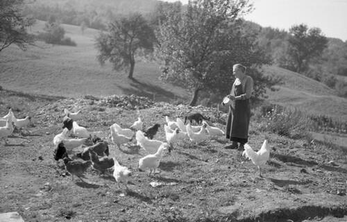 13 - Encore les poules