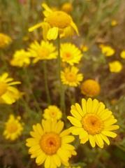 Anthémis des teinturiers fleur