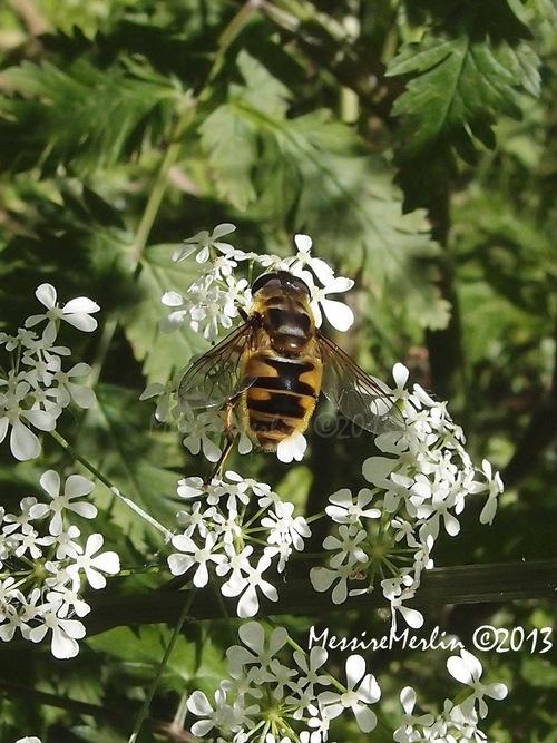 Diptère : Eristale des fleurs, Myathropa florea ou Syrphe tête de mort