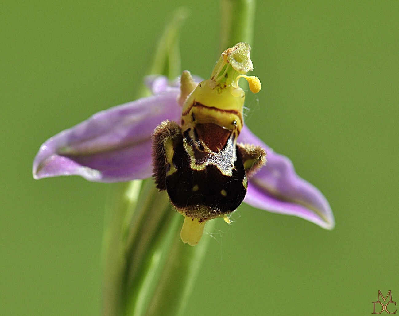 Hybride Ophrys abeille X Ophrys Bécasse