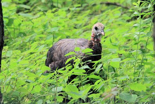 DindonSauvage (Wild Turkey)