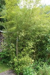 bambou nigra