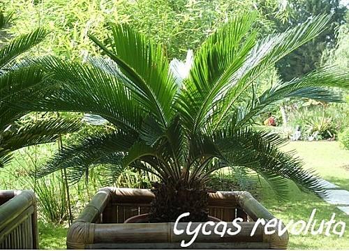 cycas 10