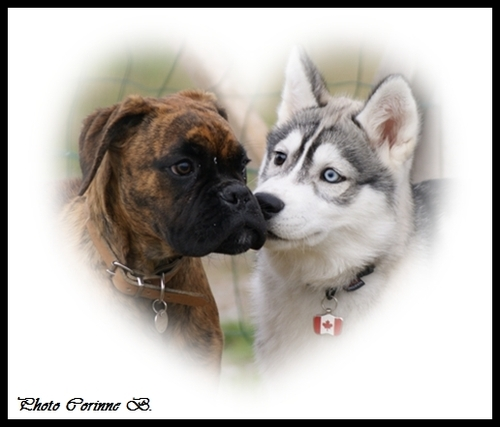 Husky et Boxer
