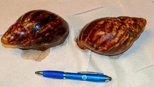 Immigration d'escargots africains ...