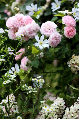 Des compagnes pour mes roses