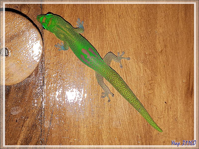 Gecko de jour poussière d'or, Gold Dust Day Gecko (Phelsuma laticauda) - Nosy Tsarabanjina - Archipel des Mitsio - Madagascar