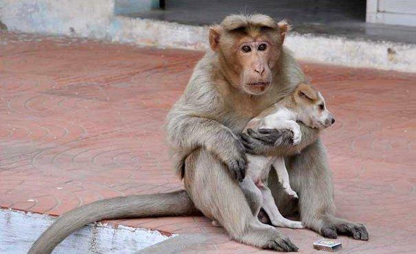 L'attitude d'un singe envers un chiot en détresse