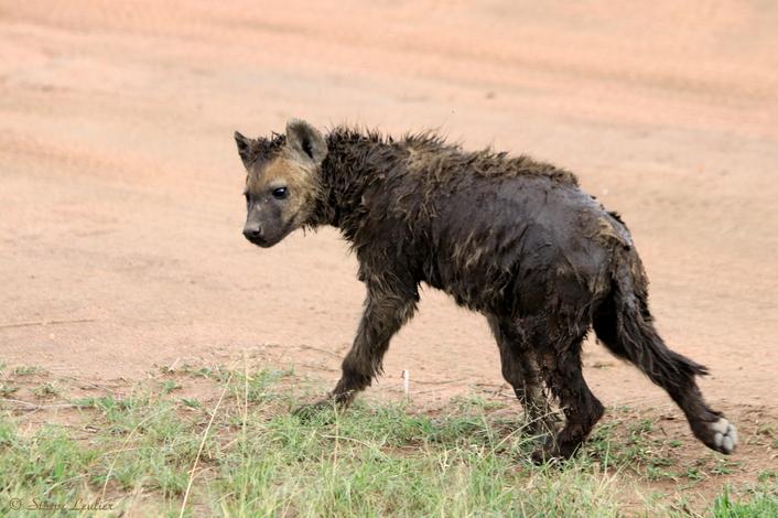 Hyènes du Sérengeti