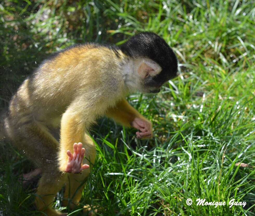 Singe spajou ou singe écureuil