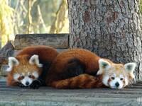 Panda roux : Pairi Daiza : 2 novembre 2015