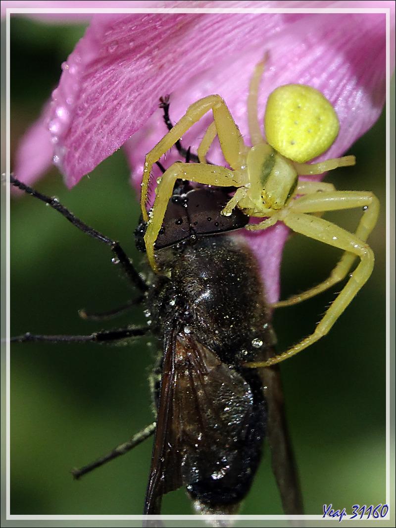 L'Araignée crabe Thomise variable jaune et son énorme proie : un taon (Tabanus sudeticus ?) mâle - Lartigau - Milhas - 31