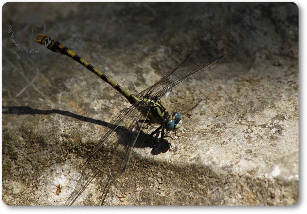 Gomphe à crochets (Onychogomphus uncatus)...