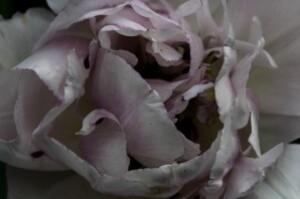 Tulipes Normandie6
