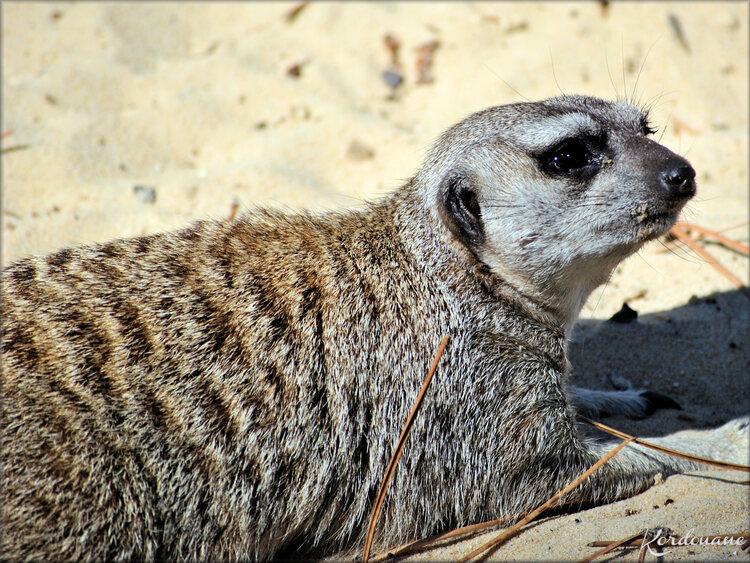 Photos de Suricates - Zoo du Bassin d'Arcachon