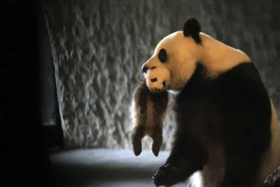 Panda mother and baby at Pairi Daiza Park, Brugelette, Belgium - 06 Aug 2016 Mother panda Hao Hao and baby