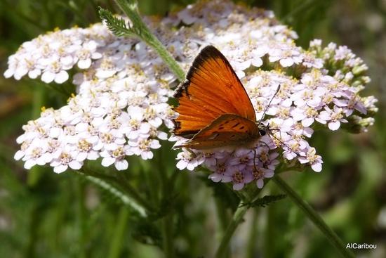 Papillon plutôt rouge