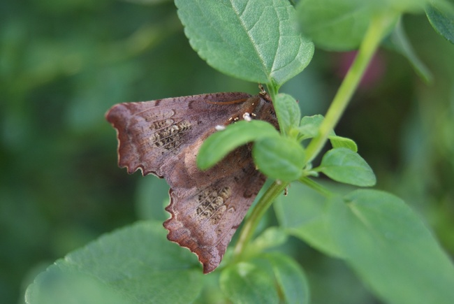 Papillon nocturne brun cannelle à nuance rosée : la Découpure ou la Friande.