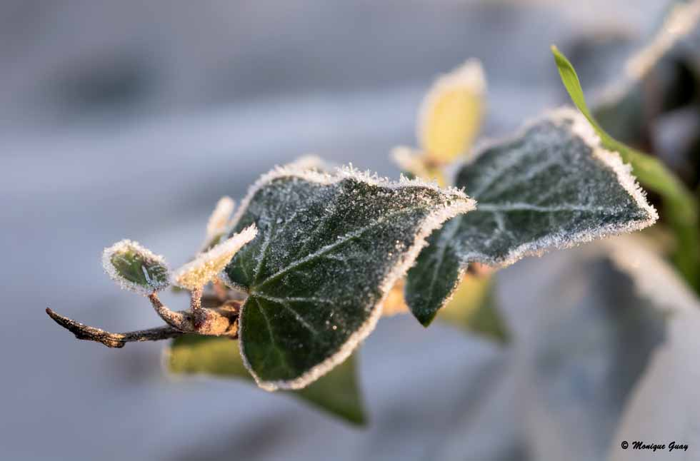 Feuilles de lierre gelées