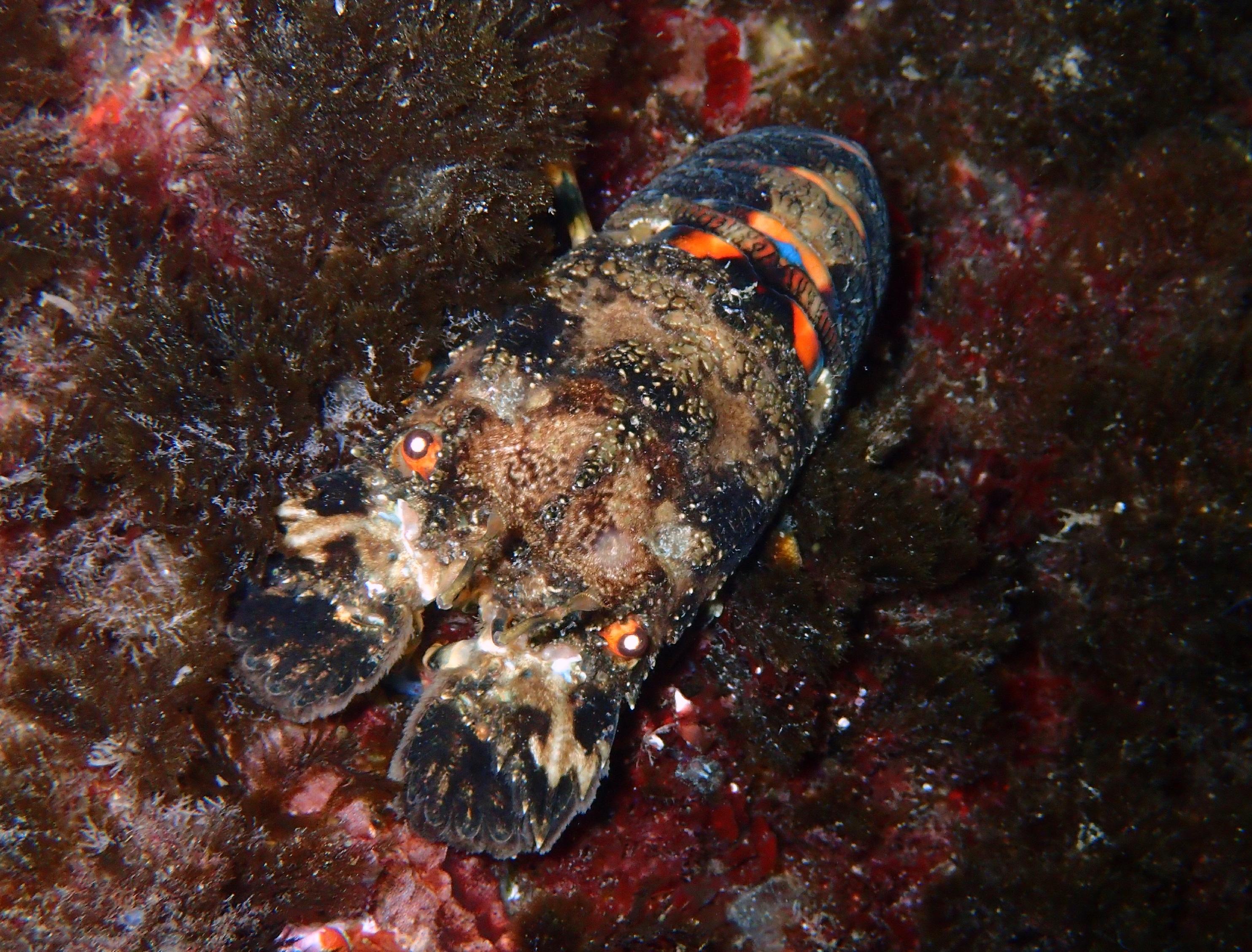 cigale de mer