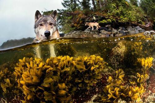 (-*♥*-) Ces incroyables loups de mer vivent de l'océan et peuvent nager sur des kilomètres.(-*♥*-)
