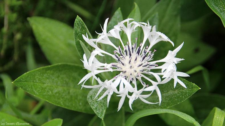 Fleurs [Défi du lundi] bourrache