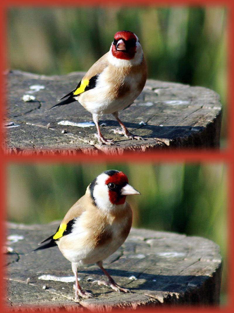 Chardonneret : à voir le rouge très vif, c'est un mâle!