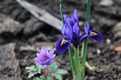 Iris réticulata