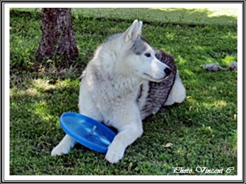 Husky et frisbee