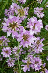 Coronille variée fleur