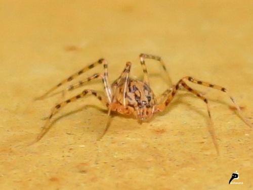 Scytodes thoracica (1)