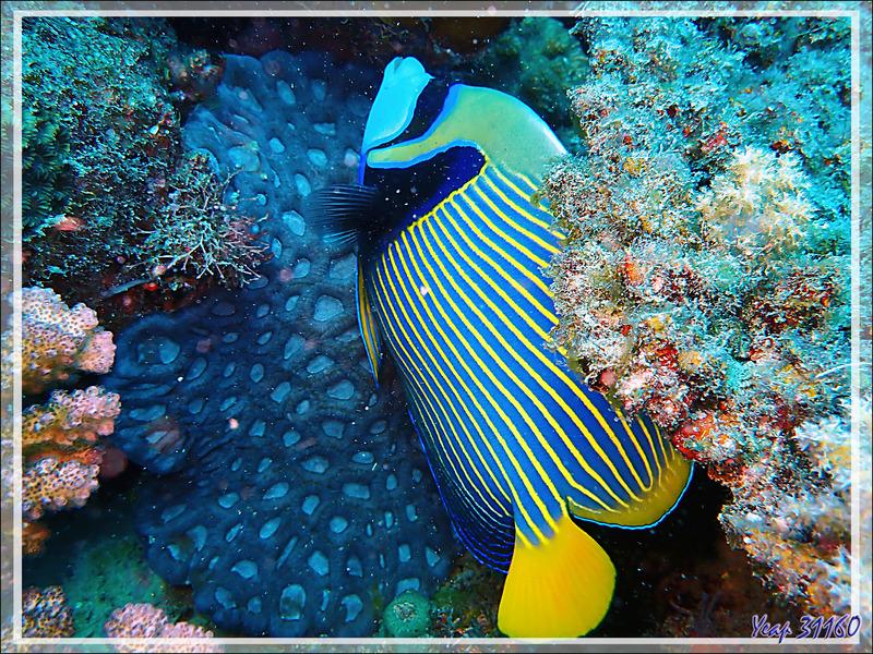 Poisson-ange empereur, Emperor angelfish (Pomacanthus imperator) - Antsoha (Rocher 4ème Frère) - Tsarabanjina - Mitsio - Madagascar